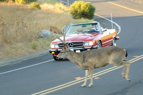 Deer Crossing the Road