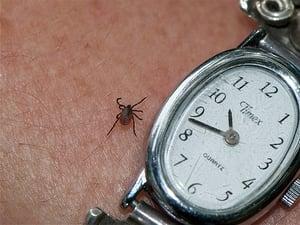 Tick causing Lyme Disease
