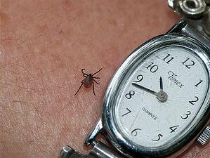 Tick causing Lyme Disease