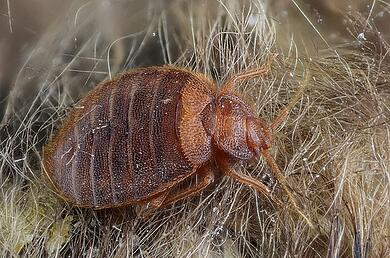 Preventing And Eradicating Bed Bugs Culture Of Safety