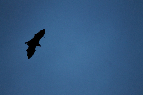 canva-bat,-fly,-migrating,-flying,-wildlife,-high-fly-MAC0toeZRyg